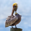 Brown Pelican in Breeding Colors - Ponce Inlet