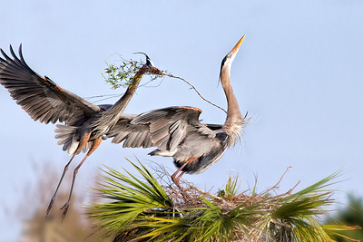 "(GB26)Great Blue Herons Courtship - In ""Birds & Bloom"" Feb/March 2018  Issue"