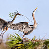 """(GB26)Great Blue Herons Courtship - In """"Birds & Bloom"""" Feb/March 2018  Issue"""