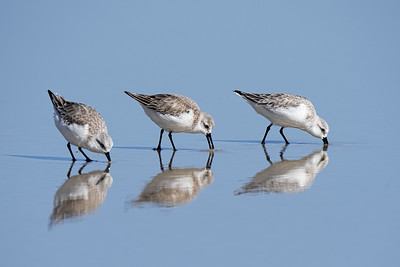 Sanderlings at New Smyrna Beach