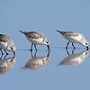 Sanderlings at New Smyrna Beach