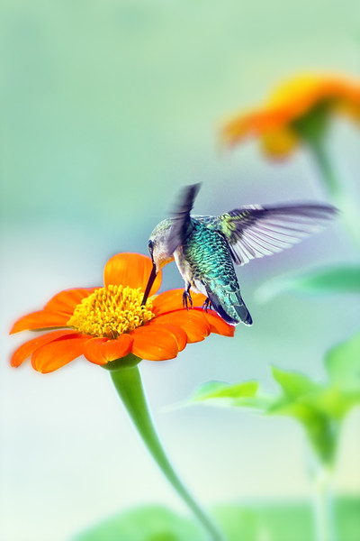 (HU18) Ruby  Throated Hummingbird on Mexican Sunflower (Tithonia)