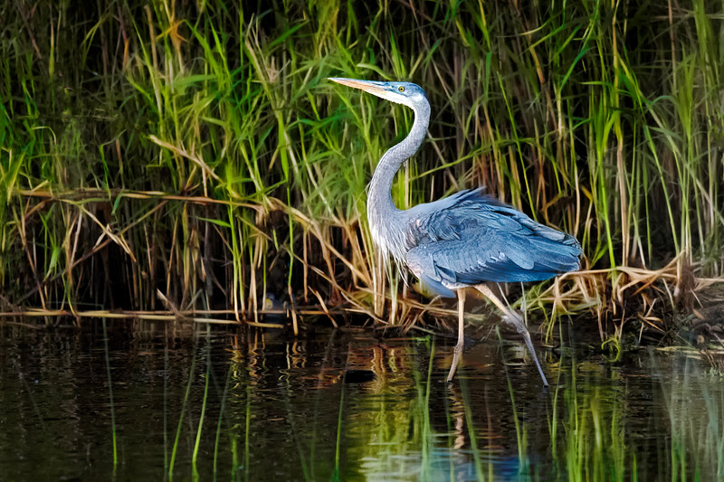 Great Blue Heron at Cameron Wight Park