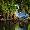Great Blue Heron at Camern Wight Park