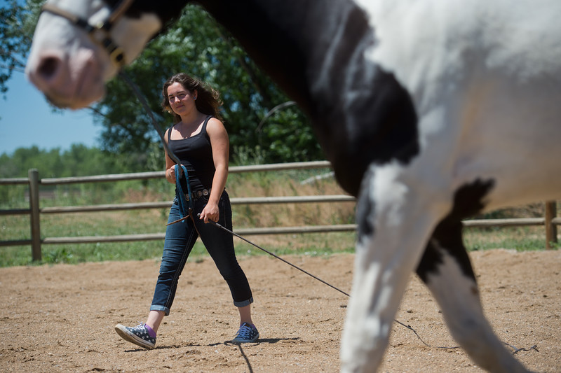 "Lily Martinelli, 16, lunges Finn, a North American Spotted Draft Horse, at Three Leaf Farm in Lafayette on Wednesday. <br /> More photos:  <a href=""http://www.dailycamera.com"">http://www.dailycamera.com</a><br /> (Autumn Parry/Staff Photographer)<br /> June 15, 2016"