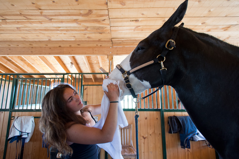 "Lily Martinelli, 16, grooms Finn, a North American Spotted Draft Horse, at Three Leaf Farm in Lafayette on Wednesday. <br /> More photos:  <a href=""http://www.dailycamera.com"">http://www.dailycamera.com</a><br /> (Autumn Parry/Staff Photographer)<br /> June 15, 2016"