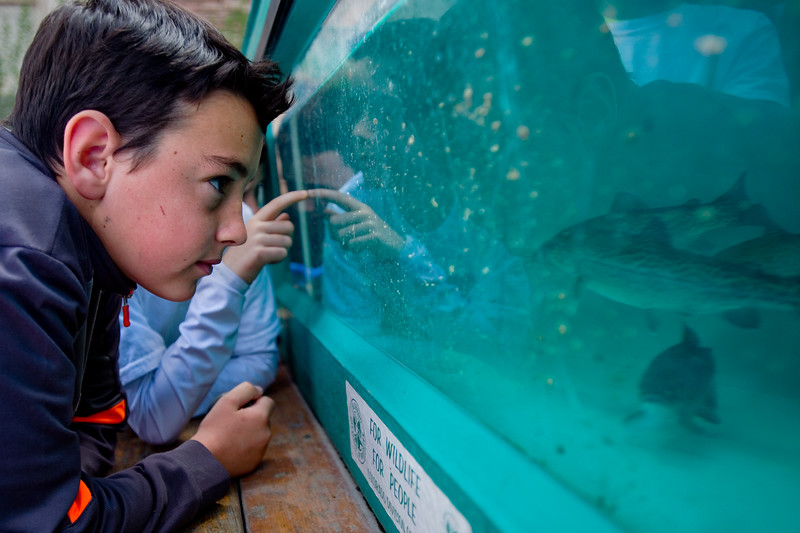 "Owen Corson, from Aspen Creek Elementary, peers through the glass at Rainbow Trout in a living stream provided by Colorado Parks and Wildlife at the Water Festival at CU Boulder on Wednesday.<br /> More photos:  <a href=""http://www.dailycamera.com"">http://www.dailycamera.com</a><br /> Autumn Parry/Staff Photographer<br /> May 11, 2016"