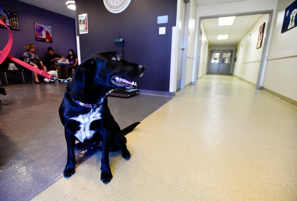 . Toby, a black lab mix, sits in the new waiting room at the Well Pet Clinic at the Longmont Humane Society on Wednesday. More photos: TimesCall.com. Matthew Jonas/Staff Photographer Feb. 15, 2017