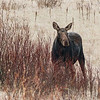 116  Eye contact with a very distant Moose