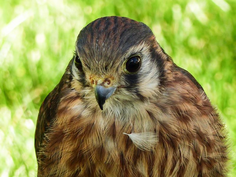 51  American Kestrel - or is it a Merlin?
