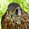 51  American Kestrel - or is it a Merlin?