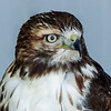 45  Juvenile Red-tailed Hawk