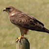 78  Swainson's Hawk