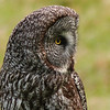 93  Great Gray Owl on a rainy day