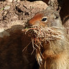 39  Columbian Ground Squirrel collecting nesting material