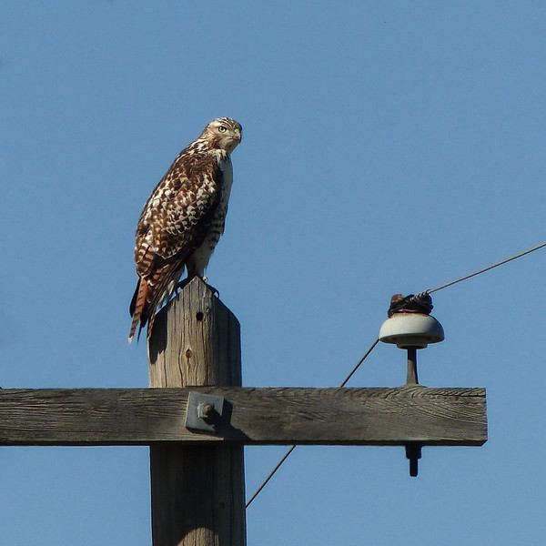 255  Juvenile Red-tailed Hawk / Buteo jamaicensis