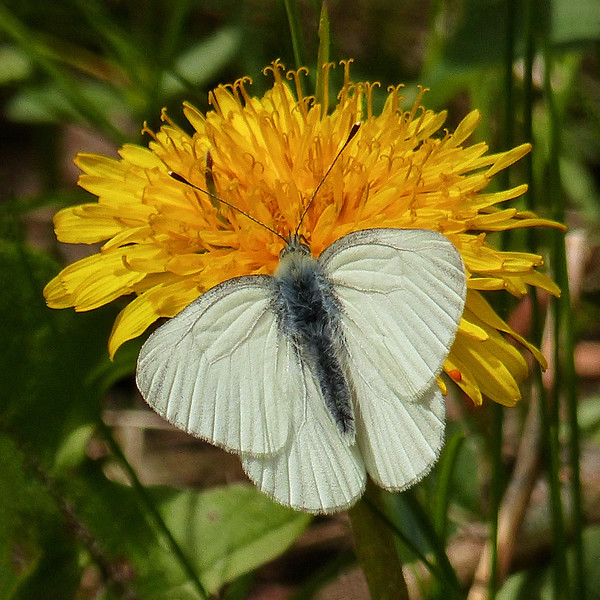 172  White butterfly