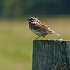 14  Savannah Sparrow