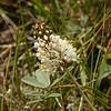 103  White Prairie Clover / Dalea candida