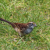 254  Juvenile White-throated Sparrow / Zonotrichia albicollis