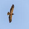 82  Swainson's Hawk in flight