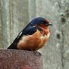 21  Barn Swallow