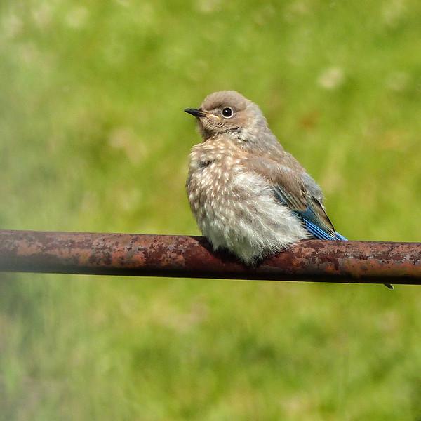 45  Mountain Bluebird fledgling