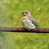 45  Mountain Bluebird fledgling
