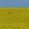 73  Hiding n the Canola field