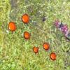 109  Eyelash fungi / Scutellinia scutellata