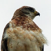 174  Swainson's Hawk male, light phase