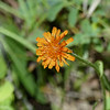 40  Orange False Dandelion