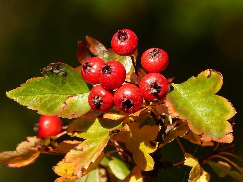 257  Autumn  berries