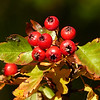 257  Autumn  berries