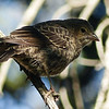 67  Brown-headed Cowbird juvenile