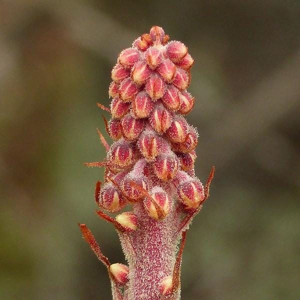 173  Pinedrops  / Pterospora - rare