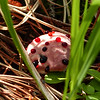 131  Strawberries and Cream fungus / Hydnellum peckii