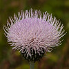 28  Thistle sp. - possibly a Wavy-leaved Thistle?