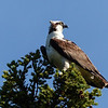 135  Wind-blown Osprey