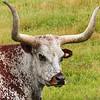 81  Longhorn