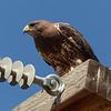 69  Swainson's Hawk