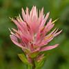 35  Paintbrush with visiting Crab Spider