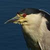 60  Black-crowned Night-heron