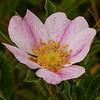 169  Delicate wild Rose