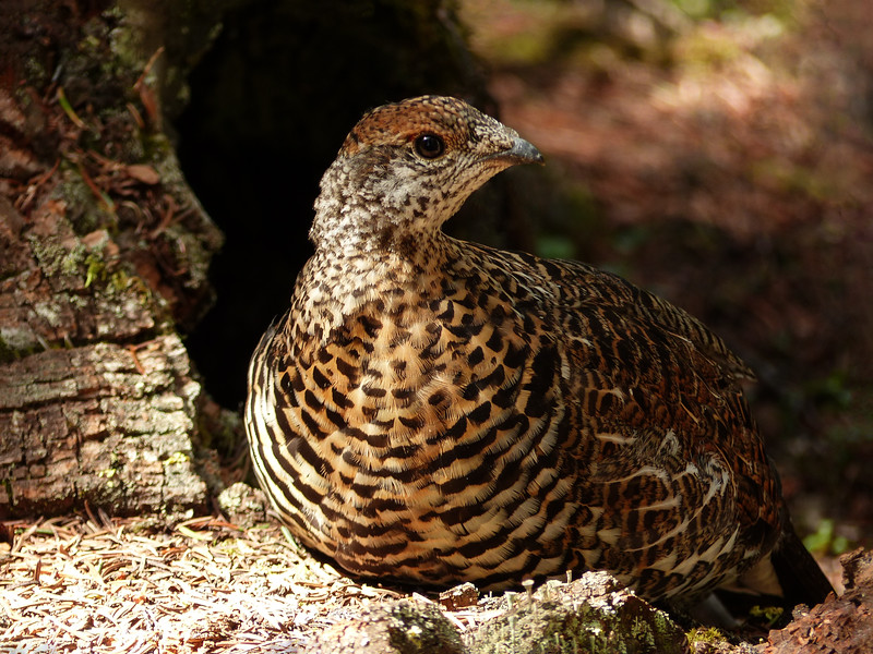 162  Young Spruce Grouse
