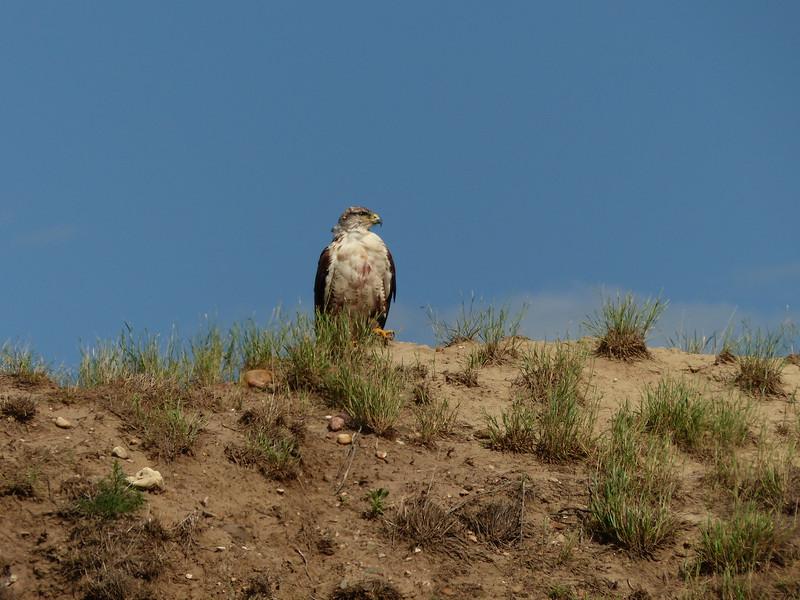 55  Ferruginous Hawk
