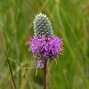 92  Purple Prairie Clover / Dalea purpurea