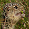 29  Thirteen-lined Ground Squirrel / Spermophilus tridecemlineatus