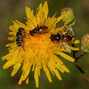 256  Three insect species on a single flower