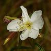 97  White Evening Primrose / Oenothera caespitosa